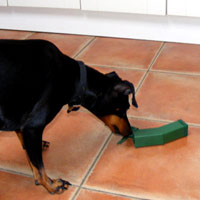 Missy the Manchester Terrier doing a bit of mouse releasing